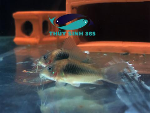 Cá chuột cafe chuyên vệ sinh tầng đáy cho hồ thủy sinh hồ cá cảnh