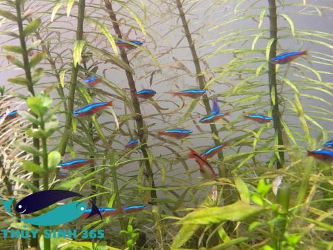 Cá Neon thả hồ thủy sinh và hồ cá cảnh
