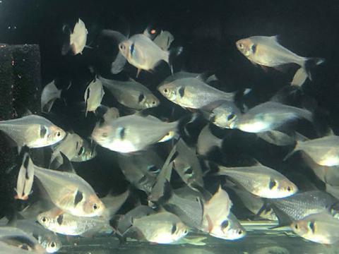 Cá Thuỷ Sinh Hắc Kỳ loài cá dễ nuôi trong hồ thủy sinh,hồ cá cảnh