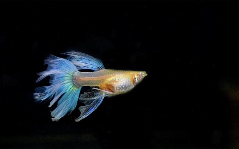 Kinh nghiệm nuôi cá bảy màu ít chết và khỏe mạnh