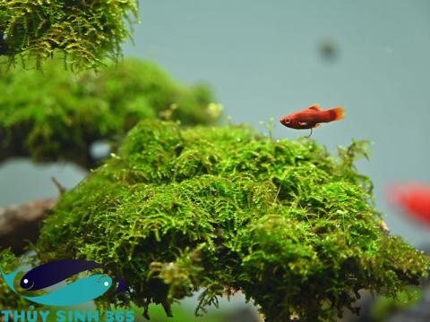 Rêu  minitaiwan chuyên trải nền và quấn lên lũa và đá cho hồ thủy sinh và hồ cá cảnh